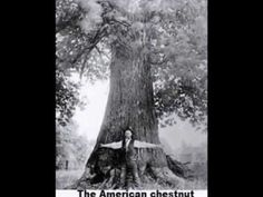 My enviromental isues project on invasive species. American Chestnut, Restoration, Trees, Tree Structure, Wood
