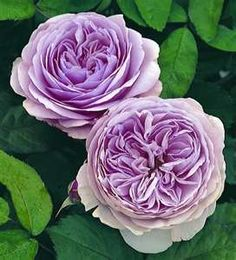 Beautiful! David Austin English Rose - Geoff Hamilton  Susan Price via Ivan Dimitrijevic onto favorite flowers
