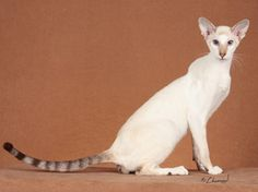 Contemporary Siamese Cat Type - Google Search