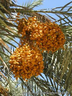 dates rippen, Siwa Oasis  Egypt  https://www.facebook.com/MindseyeWritingAndPhotography  http://www.facebook.com/pages/Delicious-Egypt/437222192980873