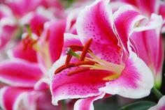 Lilium 'Starfighter', Lily 'Starfighter', Oriental Lily 'Starfighter'', Oriental Lilies, Pink Lilies, Fragrant lilies, Lily flower, Lily Flower