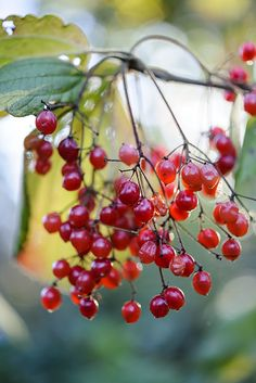 Autumn colour: Viburnum fordiae. A deciduous shrub that does best in moist soil. Bright red berries are produced in autumn that can be eaten raw or cooked. Photo by Jason Ingram. Read more about viburnums on our website http://www.gardenersworld.com/plants/search/name/viburnum/