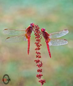 reds Beautiful Bugs, Beautiful Butterflies, Beautiful Pictures, Flying Insects, Bugs And Insects, Horse Caballo, Gossamer Wings, A Bug's Life, Dragonfly Art