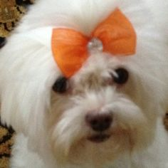 This would be Sadie Mae, for the first hour after her grooming appt. Coton De Tulear Dogs, Malteser, Maltese Dogs, Love Is Sweet, Puppy Love, Best Dogs, Doggies, Little Ones, Fur Babies
