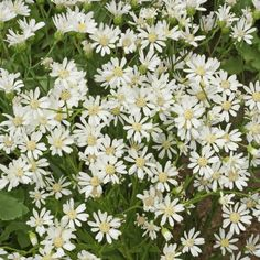 Aster ptarmicoides (White Upland Aster) Wildflower Seed White Flowers, Beautiful Flowers, Aster Flower, Wildflower Seeds, Tall Plants, Season Colors, Perennials, Planting Flowers, Landscape
