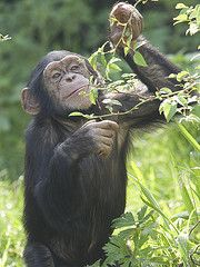 csimpánz Chimpanzee, Orangutans, Chester Zoo, Monkey Business, Primates, Wildlife, Monkeys, Funny, Cousins