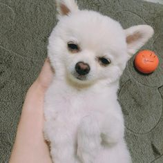 Pomeranian love    Follow and share your pics with us! @pomeranianvalko  ... #pomeranian #pomeranianpuppy #cutedogs #cutepuppy #pomeranianinstagram #pomeraniangram #lovepomeranian #pomeranianworld #pomeranianlife #pomeranianpuppies #whitepomeranian #puppiesgram #puppiesforsaleinmiami #minipomeranian #pomeranianvalko