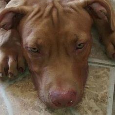 Sioux RJaws filho de New Matt xXx Cruz Fênix  #pitbull #pitbulls #pitbullsoninstagram #rednosepitbull #rednosed #riodejaneiro #brasil #rjaws #rj #jaws #pit #pitbulladvocate #pitbullpuppy #pitbullsofig #vegas #castillo #lovepits #breeder #apbtlove #apbt #rednose #adba #ukc #thereal Photo : http://ift.tt/1Vt62qd