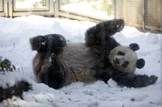 ... Shin Plays in Snow at Ueno Zoo 4 Panda fun in the snow at Ueno Zoo