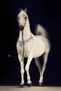 Audacious PS (Fame VF x Hal Flirtatious) Varian Arabians
