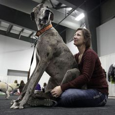 Poko the Great Dane and his owner Liah Cavanagh take a break at the Ottawa Pet Expo in Canada. Picture: QMI Agency / Rex Features