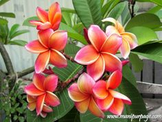 Awesome! Plumeria Flower - Manipur Flowers & Fruits From ManipurPage