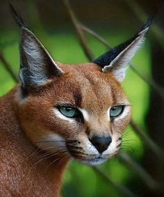 """A MOST feline beauty, the Caracal is a fiercely territorial medium-sized cat ranging over Western Asia, South Asia and Africa. The word caracal comes from the Turkish word """"karakulak"""", meaning """"black ear"""". Caracal Cat, Serval, Crazy Cats, Big Cats, Cats And Kittens, Beautiful Cats, Animals Beautiful, Simply Beautiful, Chat Beige"""
