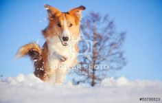 Collie in winter