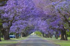 Jacaranda lined street - These grow as far north as zone 9b and I live in zone 8 but I also live in denial. I am convinced that I can grow one of these.