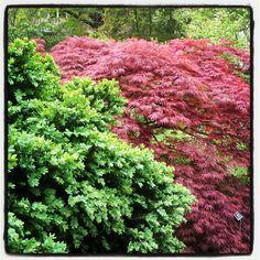 Japanese maples go beautifully with boxwoods Acer Palmatum, Japanese Maple, Backyard, Patio, Garden Beds, Gardening, Plants, Inspiration, Beauty