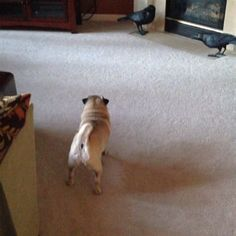 Uh-oh. There are ravens in the family room.  #pugs... | Boodapug