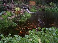 Koi Fish enjoying the pond by Natural Earth Garden Designs