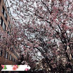 Paseo de mediodía al filo de la primavera  #flor #flowers #cherryblossom #pregnancy #embarazovictor #montecarmelo #madrid #26weeks #red #celebration #flowers #forever #white #happy #love #congratulations #celebrate #beautiful #instagood #bloom #colorful #trees #season #nature #florals #blossom #instablooms #pretty #flower #floral by agnesdeer