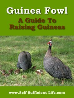 Guinea Fowl are versatile birds that can bring a lot of excitement and assistance to any farm or garden. As an alarm system they can't be beat, setting up a racket that will scare away intru…