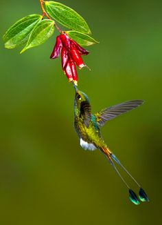 The Booted Racket-tail - Ocreatus underwoodi, is a species of hummingbird.It is found in the Andean cordillera, Bolivia, Columbia, Peru and Venezuela. Photo by Bill Holsten.