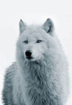 Gorgeous White Wolf!