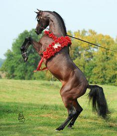 Another beautiful Arabian horse