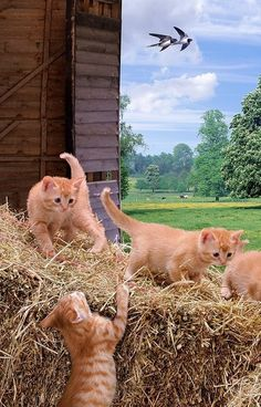 Cats Playing In The Barn.  The barn cats were wild.  You couldn't get near them.  I remember the kittens were wild too.  We could catch one but it would scratch & bite.