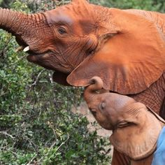 Please help support the work done at The David Sheldrick Wildlife Trust in rescuing orphaned elephant calves.