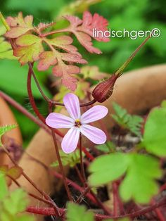 Storchnabel / Spring 2018 Spring, Plants, Lawn And Garden, Plant, Planting, Planets