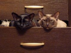 Brown and choc Burmese cats