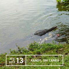A pregnant monitor lizard in Kandy Lake, Sri Lanka.