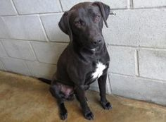 0044 Kane URGENT is an adoptable Labrador Retriever Dog in Warner Robins, GA. is an unaltered male adult black Lab mix that has white on his chest. He is on the shy side. He will not walk on a leash...