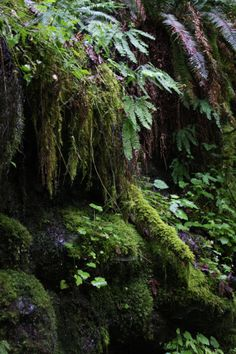 """Weeping wall.""  The wall along the Elowah Falls Trail, Columbia Gorge, OR,  is extremely wet at times.  This is moss, maidenhair ferns, sword ferns (upper right), and wild coral bells (round leaves.)  06/2013."