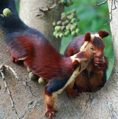 Meet These Beautiful Multicolored Giant Squirrels, They Are Too Awesome To Believe They Are Real Unusual Animals, Rare Animals, Animals And Pets, Funny Animals, Cute Creatures, Beautiful Creatures, Animals Beautiful, Indian Giant Squirrel, Cute Squirrel