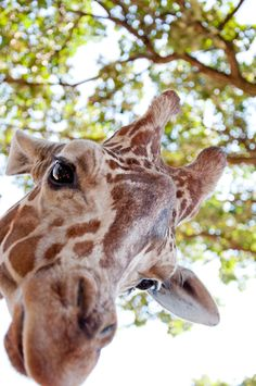 Hello, I am A Giraffe