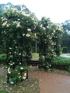 'Crépuscule ' on arbor Rumsey Rose Garden, Parramatta NSW. Austrailia