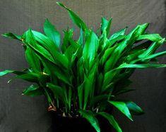 Aspidistra - Aspidistra wyniosła Growing Plants Indoors, Indoor Plants, Tips, Inside Plants, Counseling