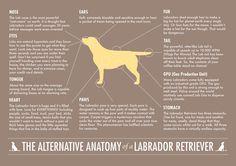 Alternative Anatomy of a Labrador Retriever – Labradors Worldwide Store