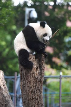 今日のパンダ(2229日目) | 毎日パンダ Study Help, Panda Bear, Adorable Animals, Squirrel, Pandas, Dog Clothing, Animals, Squirrels, Panda Bears