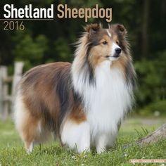 Image result for shetland sheepdog size