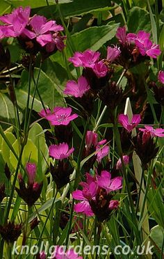 Dianthus carthusianorum | Knoll Gardens | Ornamental Grasses and Flowering Perennials