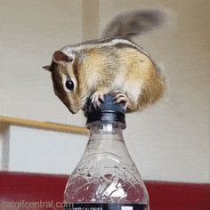 Chipmunk Dancing on a Bottlecap