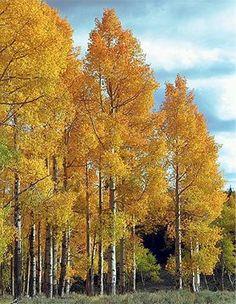 Heidrich's Colorado Tree Farm Nursery - Nursery Stock - Deciduous Trees aspen