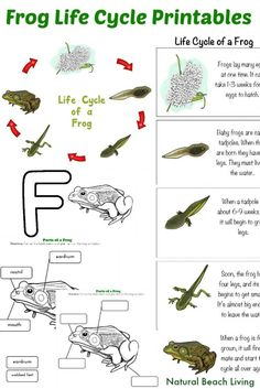 Frog Life Cycle Activities, Free Printables, Frog Unit Study perfect for the Spring, Natural Learning, Pond Life, Montessori Inspired, Letter F Preschool