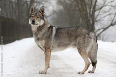 Czechoslovakian Vlcak.  Essentially a wolfdog.  Relatively new breed, big, hearty, active.  It's a wolf.