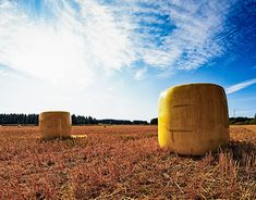 It's harvest time in the Northern Finland. This particular farmer had some yellow plastic wrap. The bales look a bit like Easter eggs or lumps of cheese.