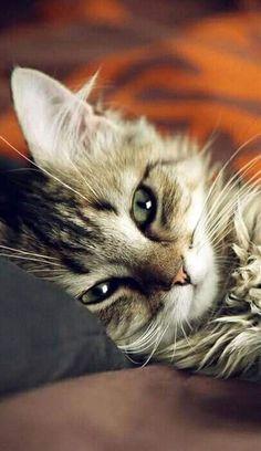 Cute Kittens, Tabby Kittens, Bengal Cats, Lps Cats, Fluffy Kittens, Pretty Cats, Beautiful Cats, Animals Beautiful, Cute Baby Animals