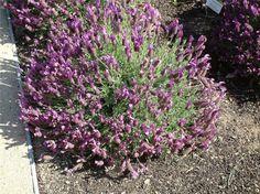 Lavandula stoechas 'Otto Quast' (Quasti Spanish Lavender) - sun, drought tolerant, low maintenance