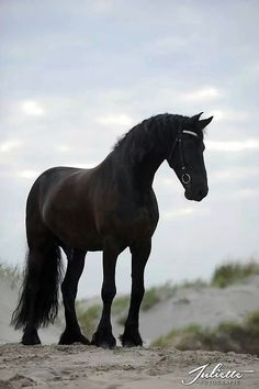 The Black (Friesian) Stallion. Such a majestic creature.